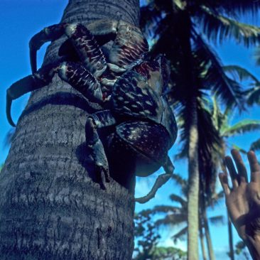 One of the amazing coconut crabs found on William Robinson's island, Taiaro, in the Tuamotus. We couldn't stay long—the anchorage was an open roadsted.